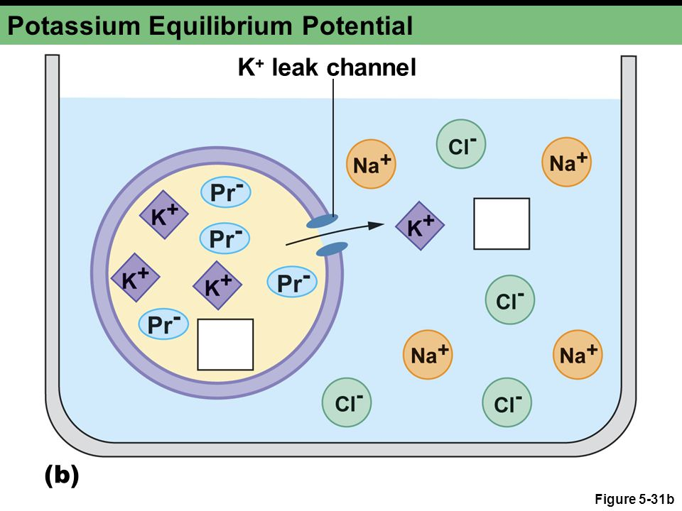 Figure 5-31b Potassium Equilibrium Potential (b) K + leak channel