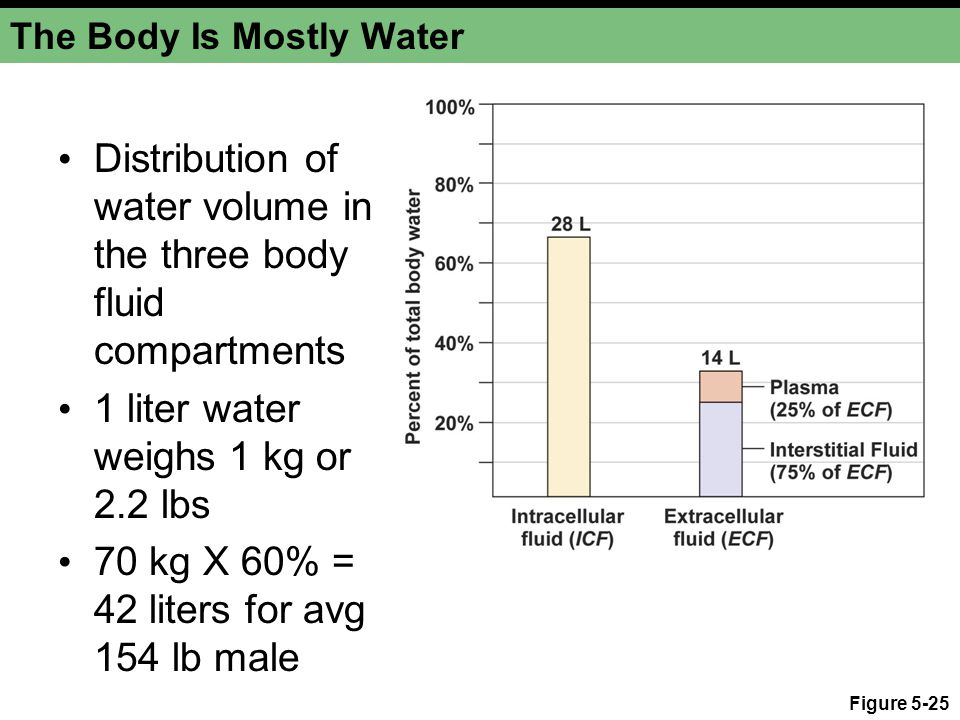 Figure 5-25 The Body Is Mostly Water Distribution of water volume in the three body fluid compartments 1 liter water weighs 1 kg or 2.2 lbs 70 kg X 60% = 42 liters for avg 154 lb male