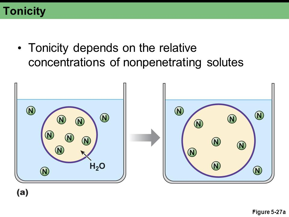 Figure 5-27a Tonicity Tonicity depends on the relative concentrations of nonpenetrating solutes