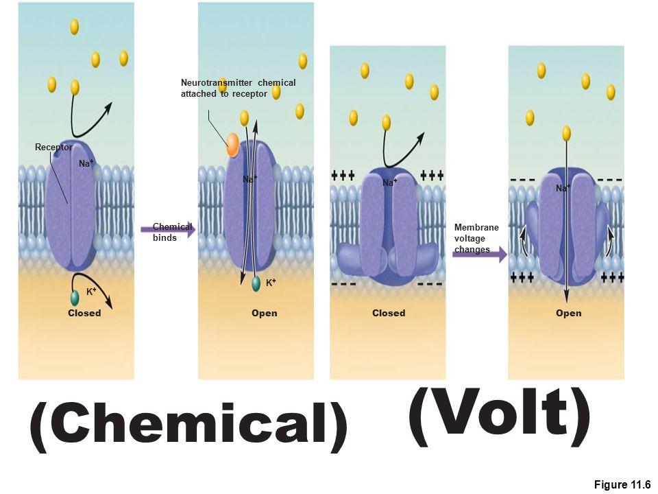 Figure 11.6 (Volt) Na + ClosedOpen Receptor (Chemical) Na + K+K+ K+K+ Neurotransmitter chemical attached to receptor Chemical binds ClosedOpen Membran