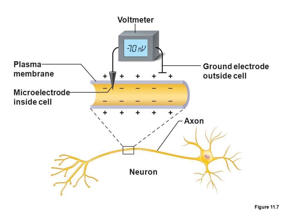 Figure 11.7 Voltmeter Microelectrode inside cell Plasma membrane Ground electrode outside cell Neuron Axon