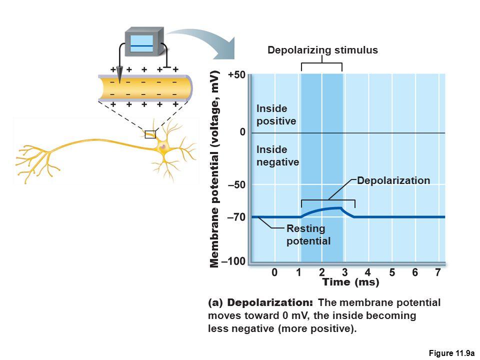 Figure 11.9a Depolarizing stimulus Time (ms) Inside positive Inside negative Resting potential Depolarization (a) Depolarization: The membrane potenti
