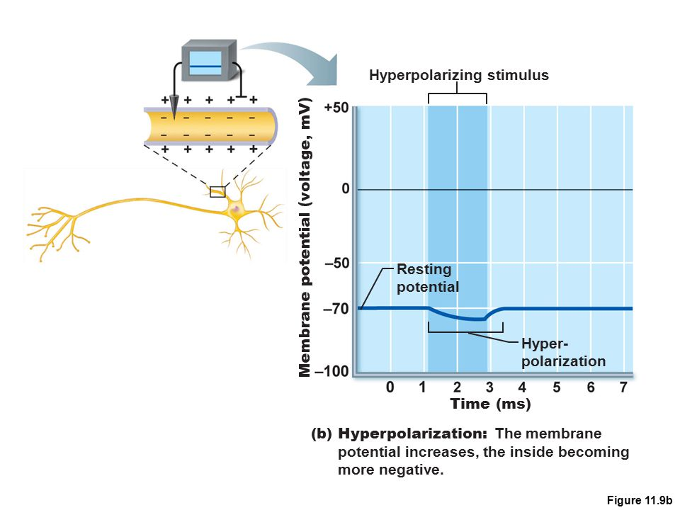 Figure 11.9b Hyperpolarizing stimulus Time (ms) Resting potential Hyper- polarization (b) Hyperpolarization: The membrane potential increases, the ins