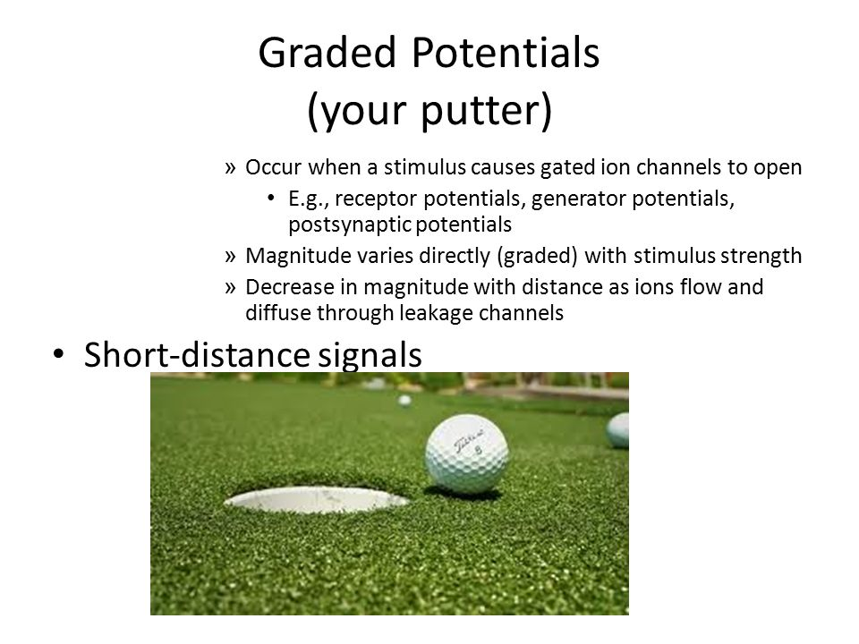 Graded Potentials (your putter) » Occur when a stimulus causes gated ion channels to open E.g., receptor potentials, generator potentials, postsynapti