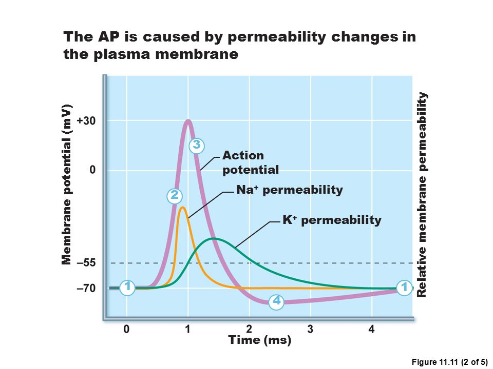 Action potential Time (ms) 1 1 2 3 4 Na + permeability K + permeability The AP is caused by permeability changes in the plasma membrane Membrane poten