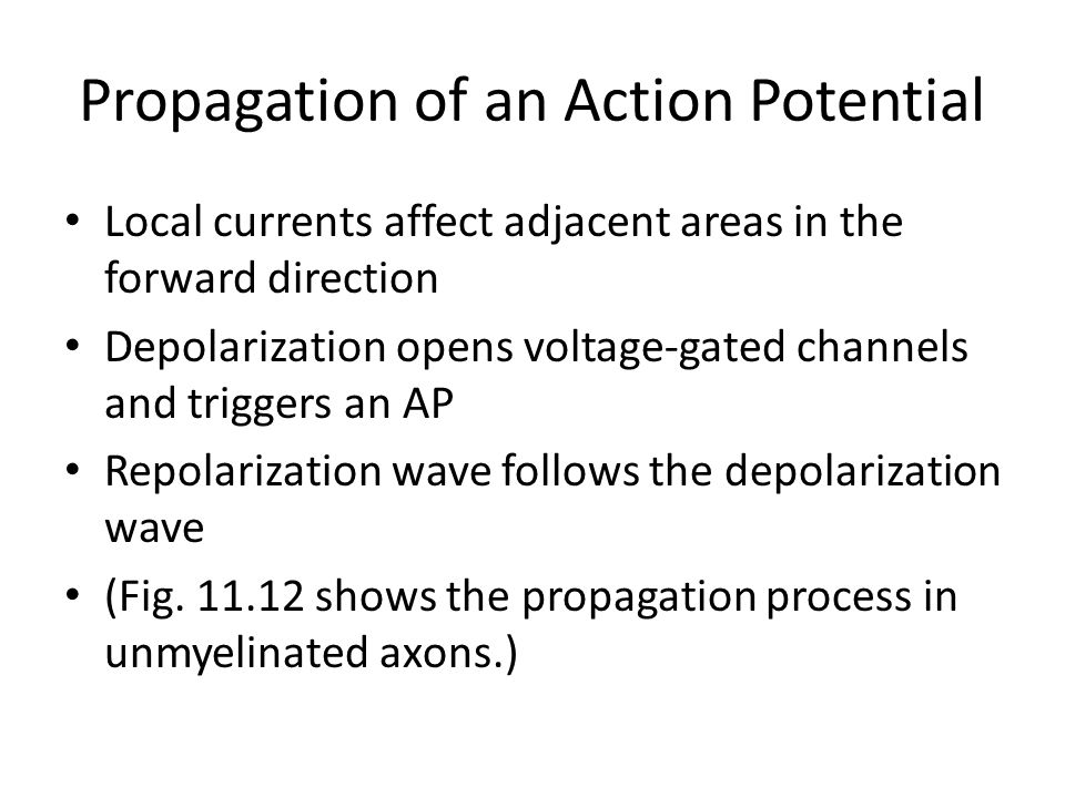 Propagation of an Action Potential Local currents affect adjacent areas in the forward direction Depolarization opens voltage-gated channels and trigg