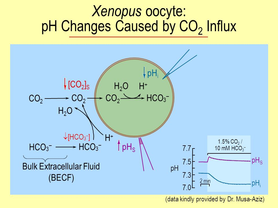 CO 2 HCO 3 – H+H+ H2OH2O CO 2 H2OH2O HCO 3 – H+H+ pH S [CO 2 ] S Bulk Extracellular Fluid (BECF) 2 min pH 7.5 7.7 7.3 7.0 1.5% CO 2 / 10 mM HCO 3 – pH S pH i (data kindly provided by Dr.