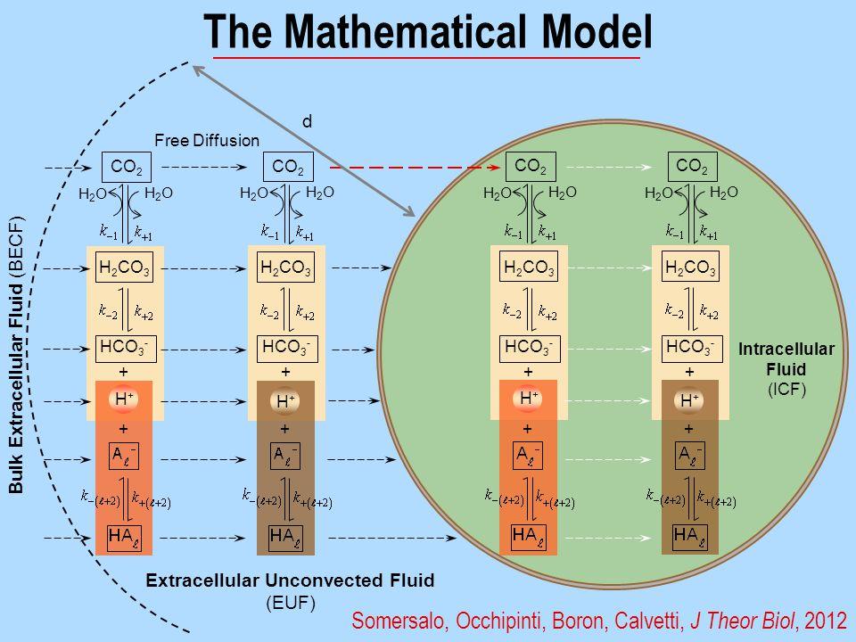 The Mathematical Model Somersalo, Occhipinti, Boron, Calvetti, J Theor Biol, 2012