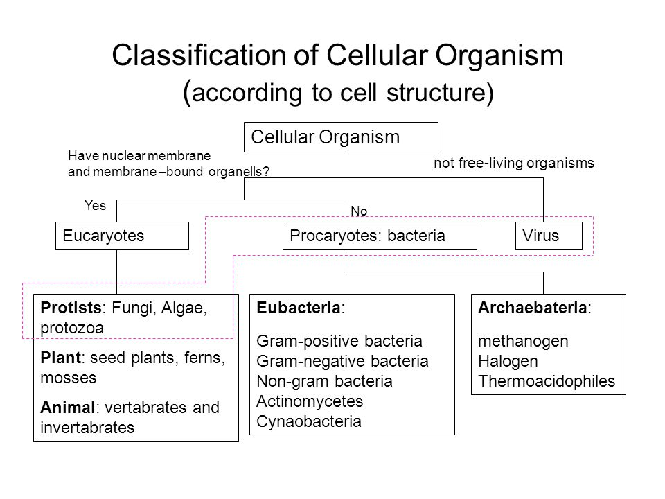 Classification of Cellular Organism ( according to cell structure) Cellular Organism EucaryotesProcaryotes: bacteriaVirus Eubacteria: Gram-positive ba