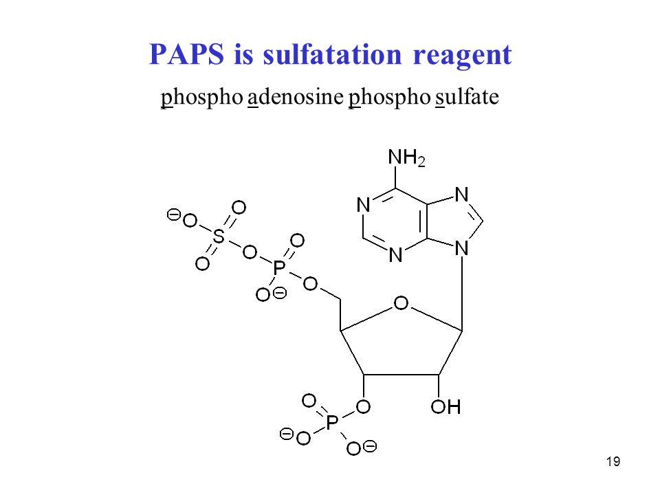 19 PAPS is sulfatation reagent phospho adenosine phospho sulfate