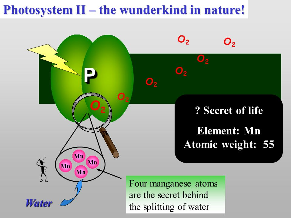 Mn PP O2O2 O2O2 O2O2 O2O2 ? Secret of life Element: Mn Atomic weight: 55 Mn Four manganese atoms are the secret behind the splitting of water O2O2 O2O