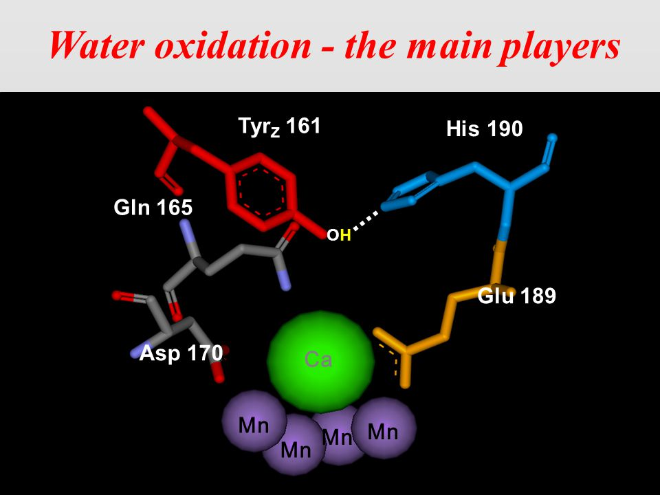 Tyr Z 161 His 190 Glu 189 Asp 170 Gln 165 Ca Water oxidation - the main players OHOH Mn