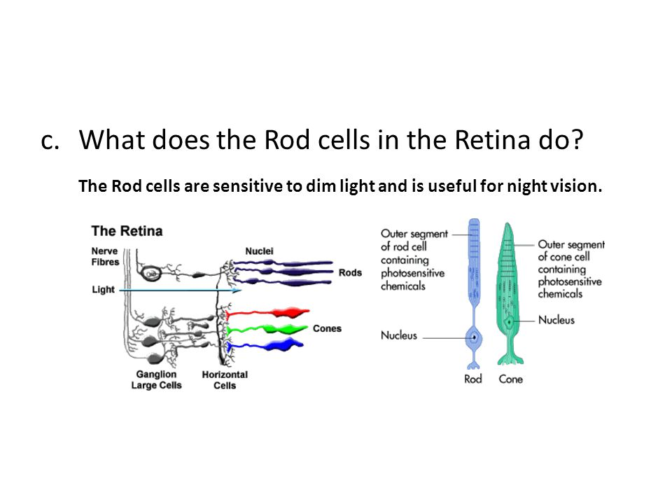 c.What does the Rod cells in the Retina do? The Rod cells are sensitive to dim light and is useful for night vision.