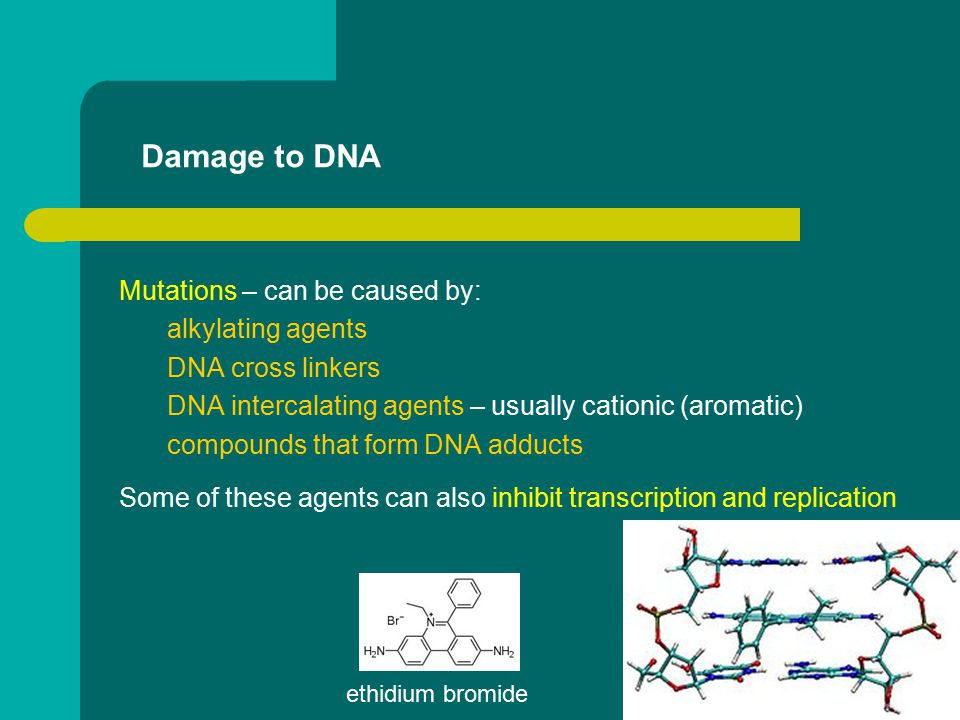 Damage to DNA Mutations – can be caused by: alkylating agents DNA cross linkers DNA intercalating agents – usually cationic (aromatic) compounds that form DNA adducts Some of these agents can also inhibit transcription and replication ethidium bromide