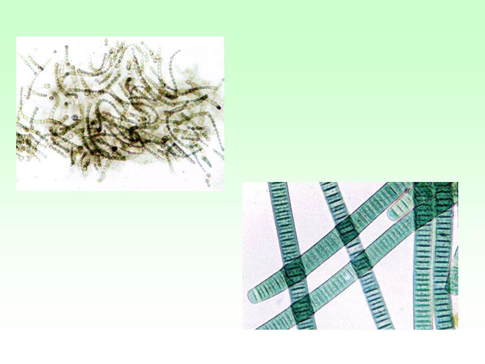 Rates of Nitrogen Fixation N 2 fixing systemNitrogen Fixation (kg N/hect/year) Rhizobium-legume200-300 Cyanobacteria- moss30-40 Rhizosphere associations 2-25 Free- living1-2