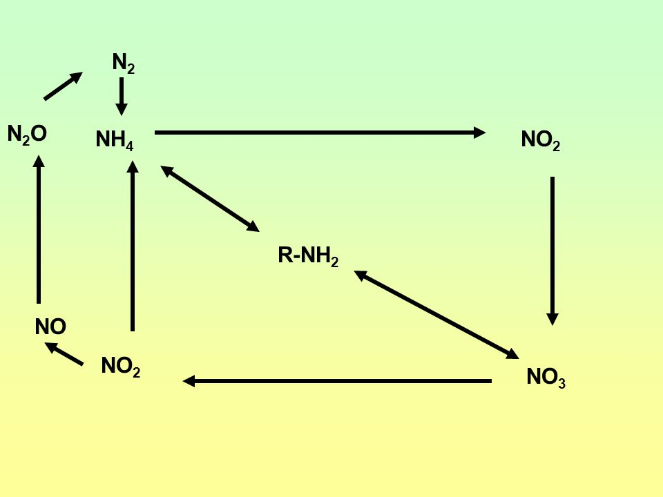 Nitrogen Cycles Ammonification/mineralization Immobilization Nitrogen Fixation Nitrification Denitrification