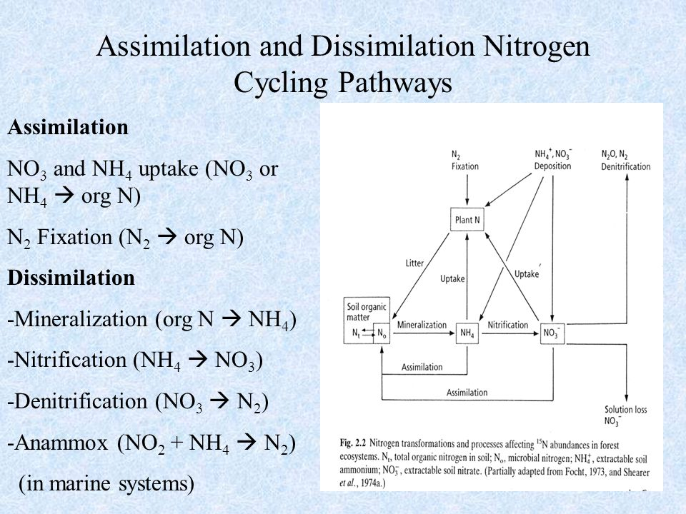 2 Assimilation and Dissimilation Nitrogen Cycling Pathways Assimilation NO 3 and NH 4 uptake (NO 3 or NH 4  org N) N 2 Fixation (N 2  org N) Dissimi