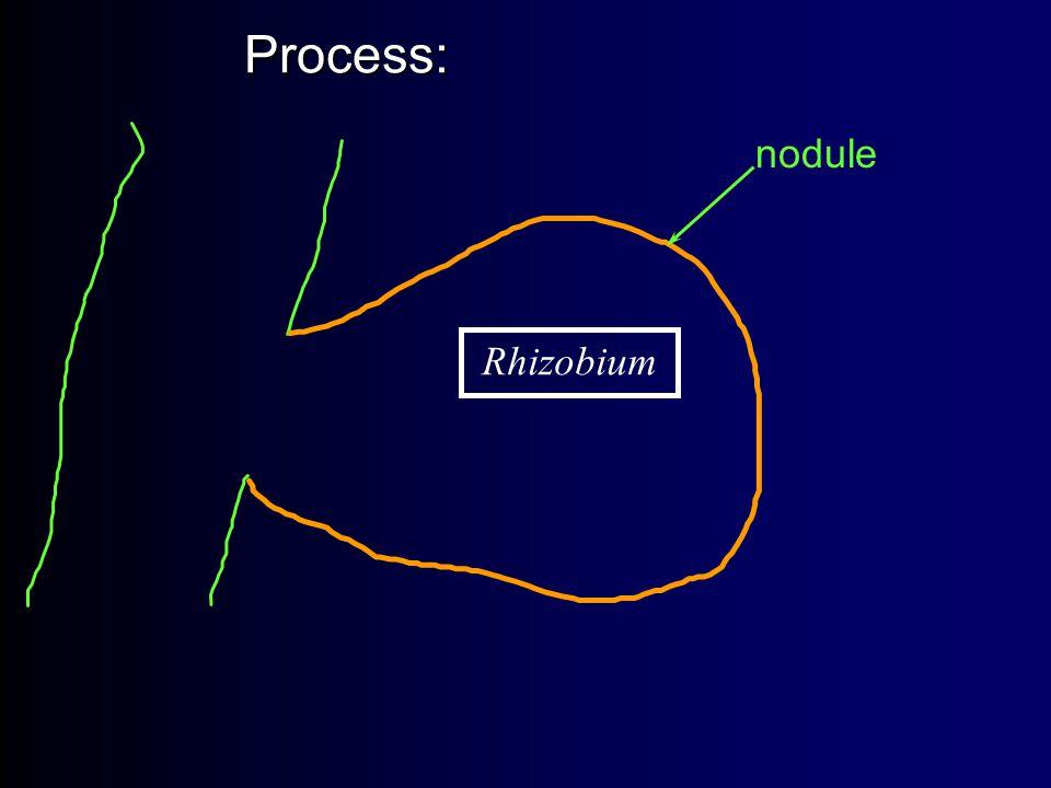 Process: Process: Rhizobium nodule