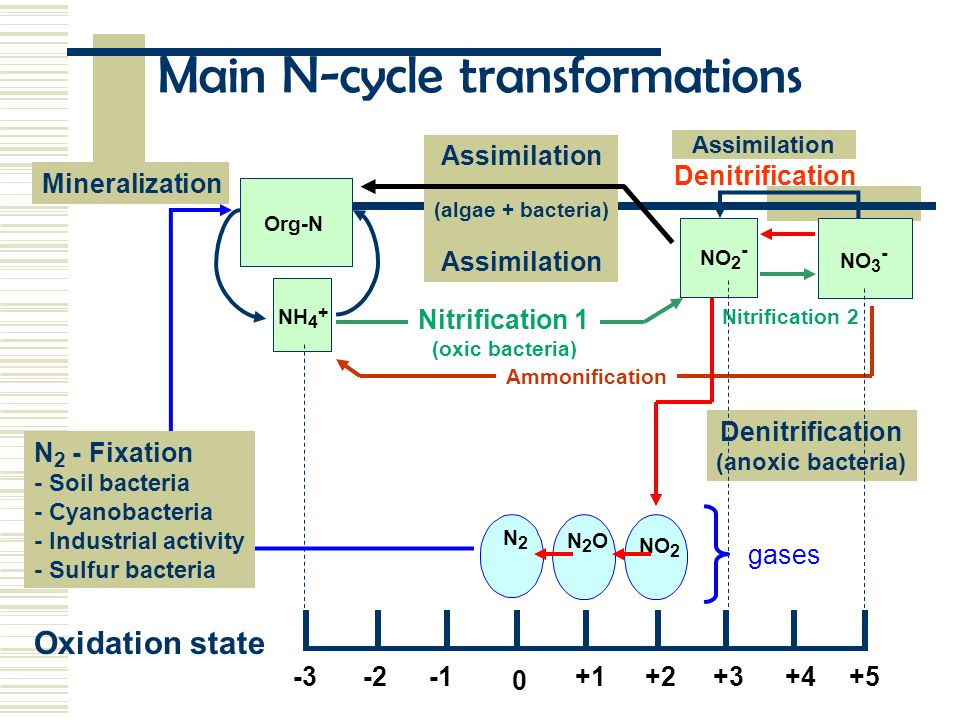 Assimilation (algae + bacteria) Assimilation -3+5+4+3+2+1 0 -2 Oxidation state Assimilation Denitrification NO 2 N2ON2O N2N2 NH 4 + NO 2 - Mineralization Org-N Main N-cycle transformations N 2 - Fixation - Soil bacteria - Cyanobacteria - Industrial activity - Sulfur bacteria Denitrification (anoxic bacteria) Nitrification 1 (oxic bacteria) Nitrification 2NO 3 - Ammonification gases