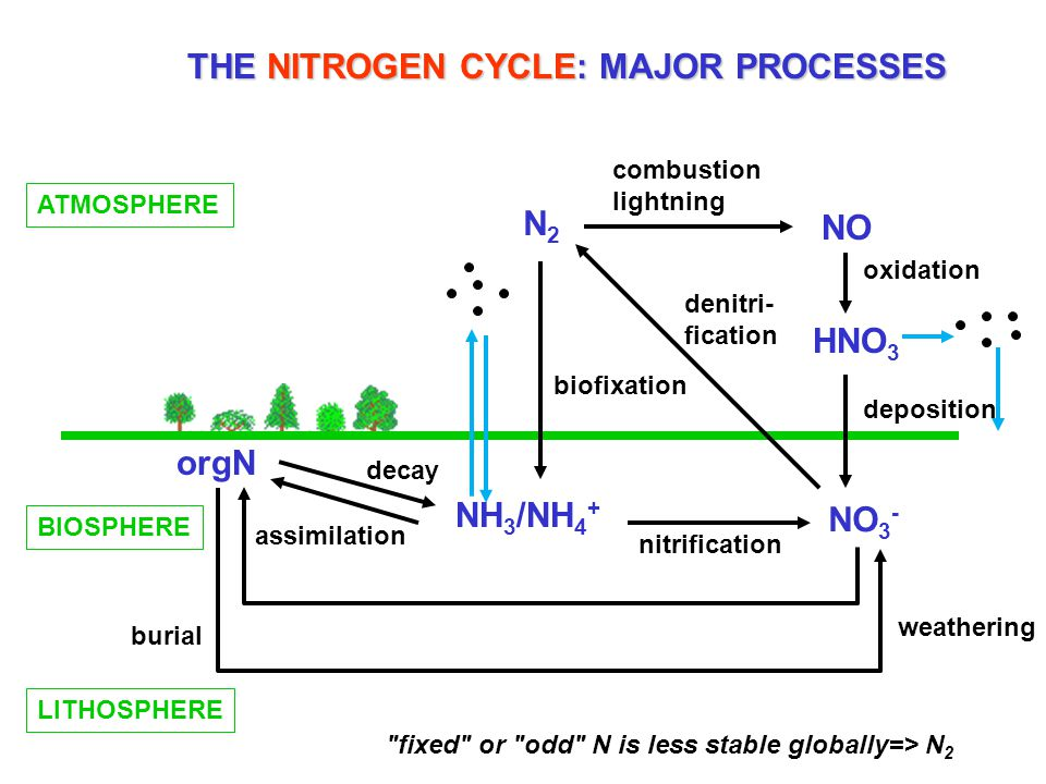 THE NITROGEN CYCLE: MAJOR PROCESSES ATMOSPHERE N2N2 NO HNO 3 NH 3 /NH 4 + NO 3 - orgN BIOSPHERE LITHOSPHERE combustion lightning oxidation deposition