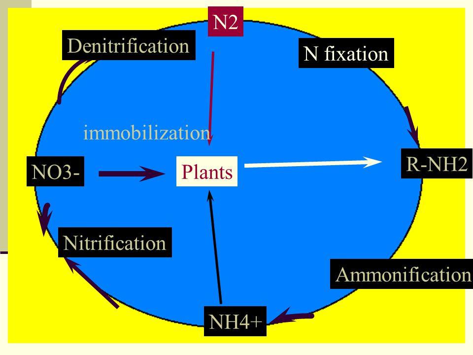 N2 R-NH2 NH4+ NO3-Plants N fixation Ammonification Nitrification Denitrification immobilization