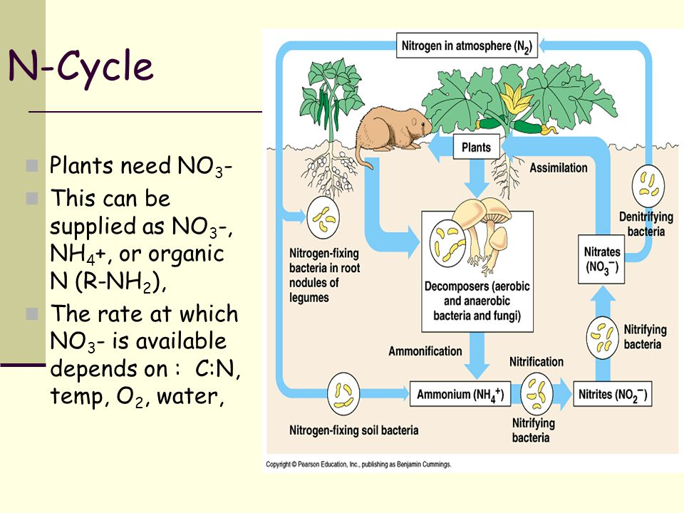 N-Cycle Plants need NO 3 - This can be supplied as NO 3 -, NH 4 +, or organic N (R-NH 2 ), The rate at which NO 3 - is available depends on : C:N, tem