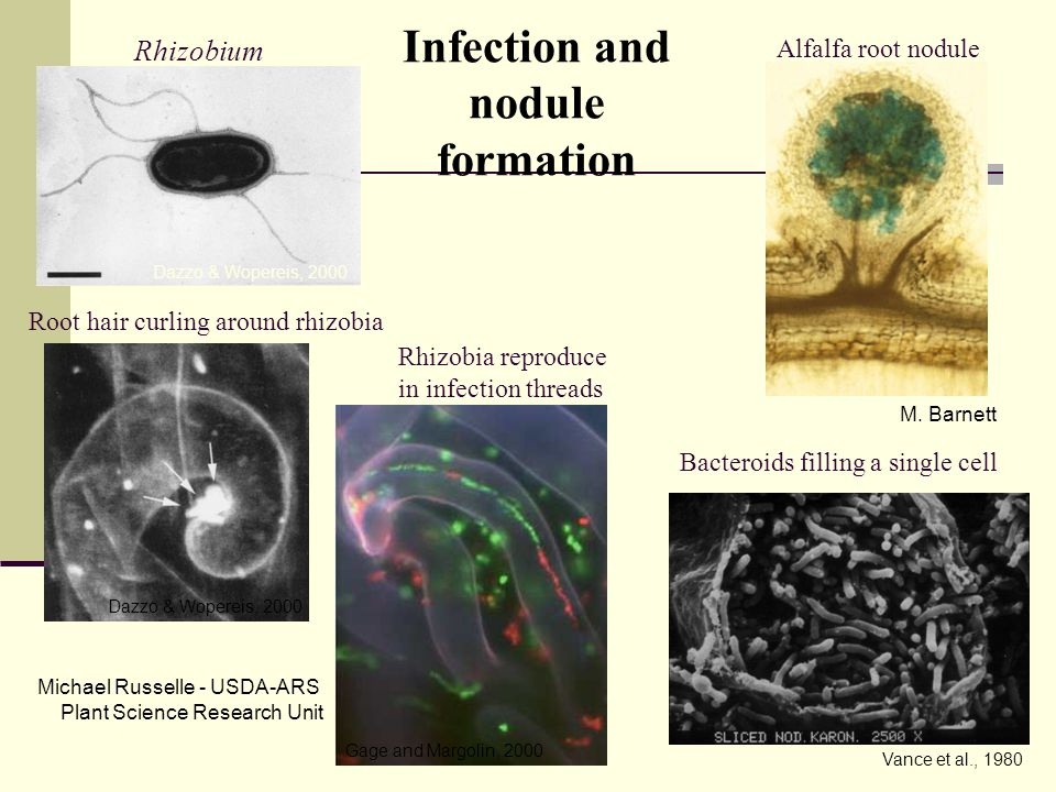Dazzo & Wopereis, 2000 Vance et al., 1980 Infection and nodule formation Rhizobium Dazzo & Wopereis, 2000 Gage and Margolin, 2000 Root hair curling around rhizobia Rhizobia reproduce in infection threads Bacteroids filling a single cell Alfalfa root nodule M.