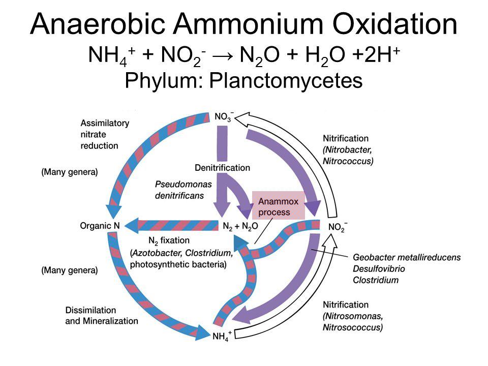 Anaerobic Ammonium Oxidation NH 4 + + NO 2 - → N 2 O + H 2 O +2H + Phylum: Planctomycetes
