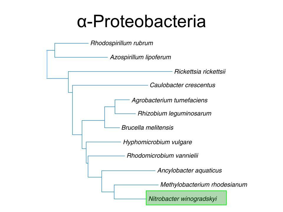 α-Proteobacteria