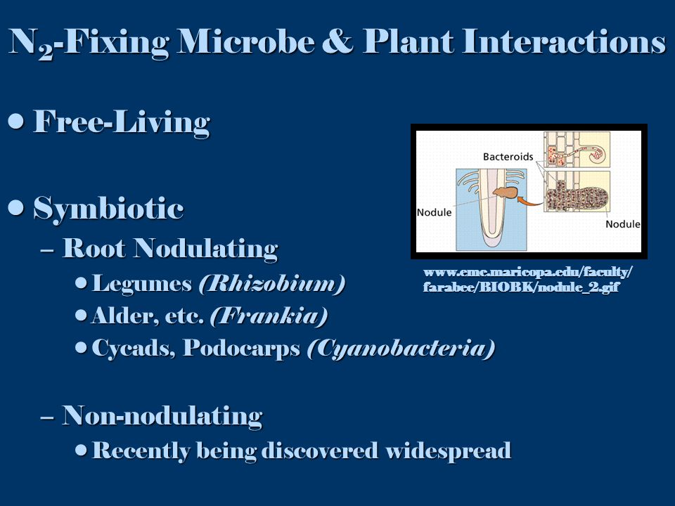 Free-LivingFree-Living SymbioticSymbiotic –Root Nodulating Legumes (Rhizobium)Legumes (Rhizobium) Alder, etc. (Frankia)Alder, etc. (Frankia) Cycads, P