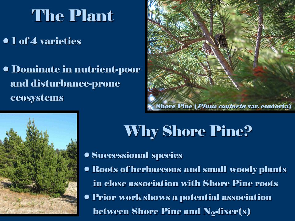 1 of 4 varieties 1 of 4 varieties Dominate in nutrient-poor Dominate in nutrient-poor and disturbance-prone and disturbance-prone ecosystems ecosystems Shore Pine (Pinus contorta var.