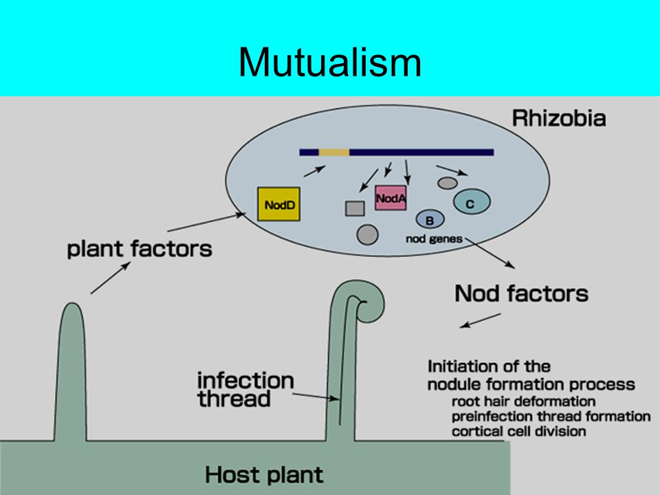 Nitrogen fixing bacteria (Mr M discuss nitrogenase here!!) Function…….
