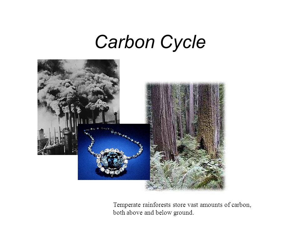Carbon Cycle Temperate rainforests store vast amounts of carbon, both above and below ground.
