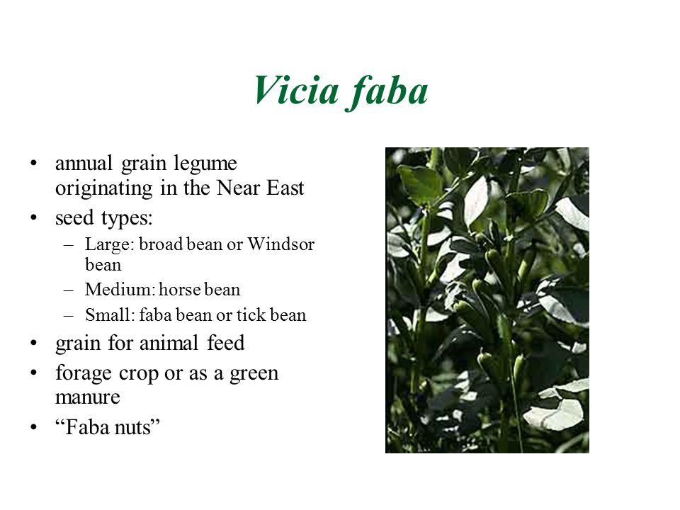 Vicia faba annual grain legume originating in the Near East seed types: –Large: broad bean or Windsor bean –Medium: horse bean –Small: faba bean or ti