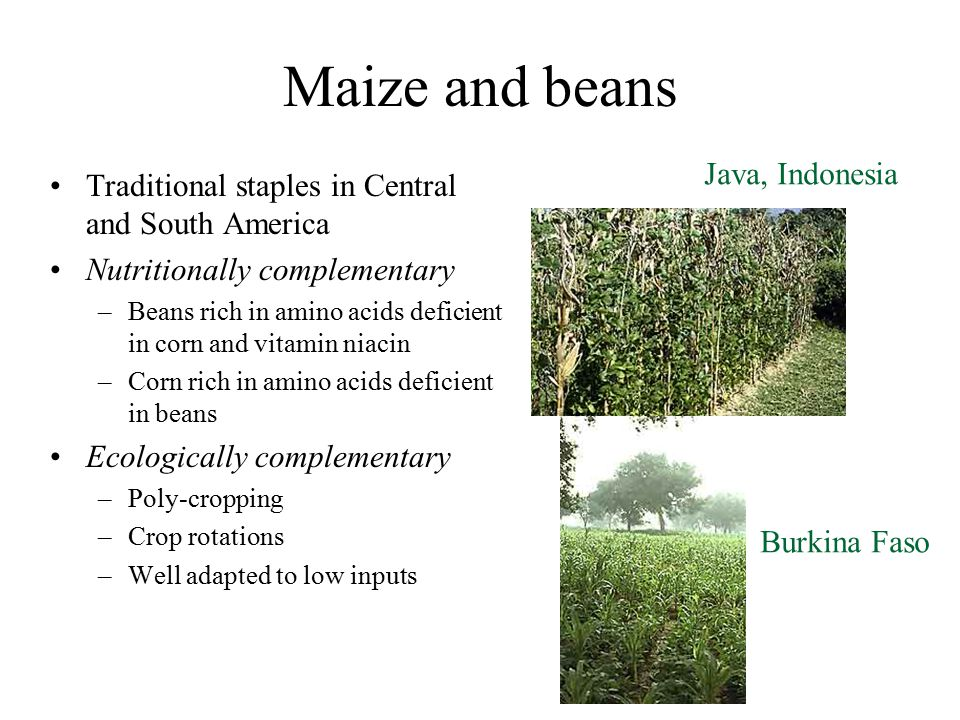 Maize and beans Traditional staples in Central and South America Nutritionally complementary –Beans rich in amino acids deficient in corn and vitamin