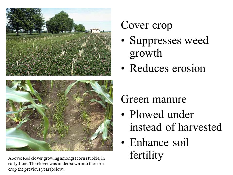 Cover crop Suppresses weed growth Reduces erosion Green manure Plowed under instead of harvested Enhance soil fertility Above: Red clover growing amon