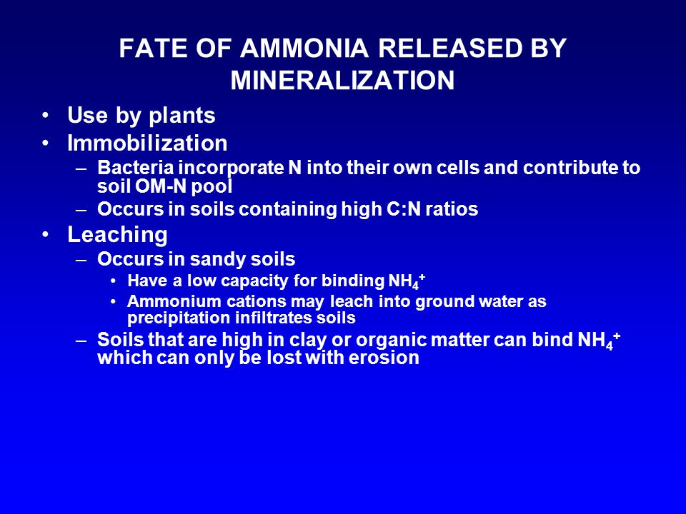 FATE OF AMMONIA RELEASED BY MINERALIZATION Use by plants Immobilization –Bacteria incorporate N into their own cells and contribute to soil OM-N pool –Occurs in soils containing high C:N ratios Leaching –Occurs in sandy soils Have a low capacity for binding NH 4 + Ammonium cations may leach into ground water as precipitation infiltrates soils –Soils that are high in clay or organic matter can bind NH 4 + which can only be lost with erosion