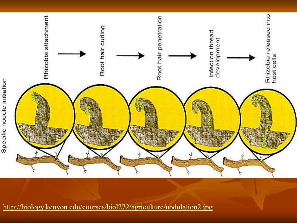 http://biology.kenyon.edu/courses/biol272/agriculture/nodulation2.jpg