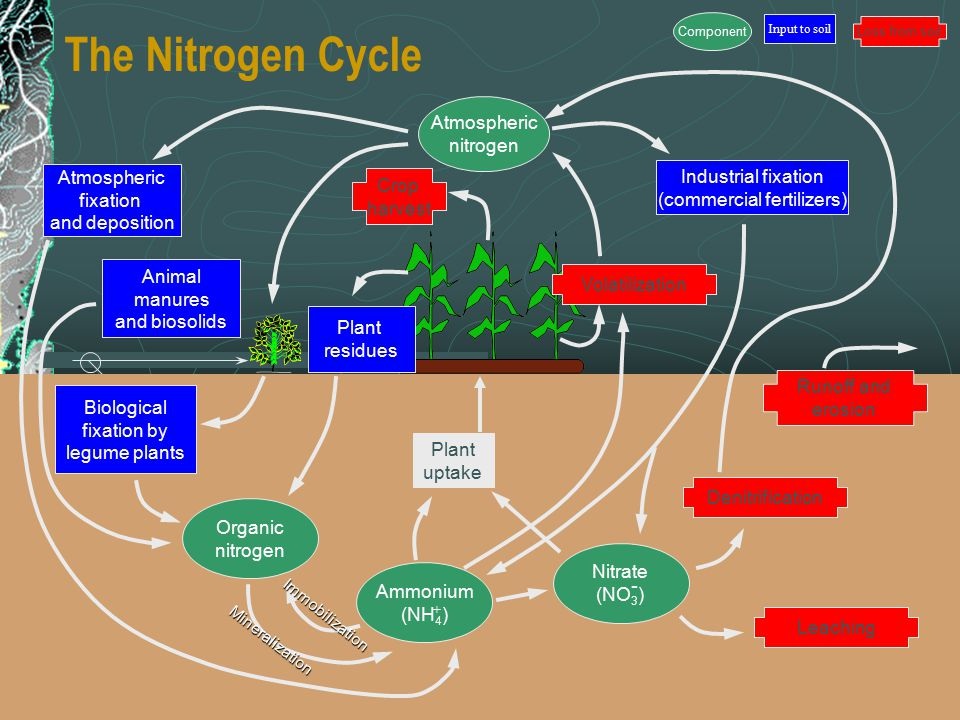 Ch 19http://astro.temple.edu/~keyer13 The Nitrogen Cycle Atmospheric nitrogen Atmospheric fixation and deposition Animal manures and biosolids Industrial fixation (commercial fertilizers) Crop harvest Volatilization Denitrification Runoff and erosion Leaching Organic nitrogen Ammonium (NH 4 ) Nitrate (NO 3 ) Plant residues Biological fixation by legume plants Plant uptake Immobilization Mineralization Input to soil Component Loss from soil - +