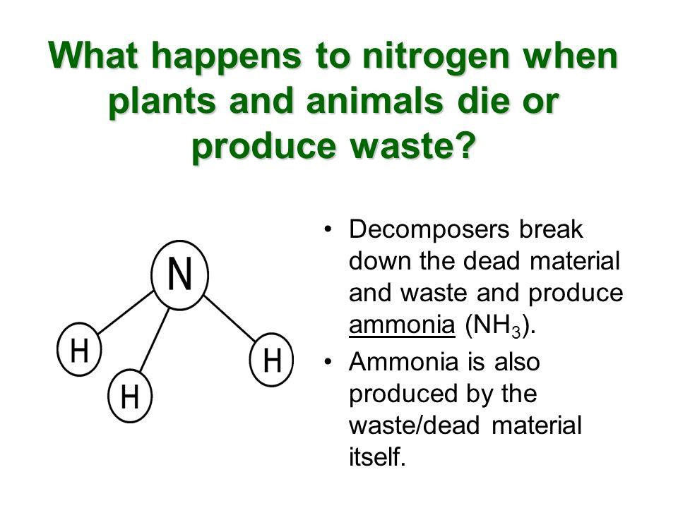 What happens to nitrogen when plants and animals die or produce waste? Decomposers break down the dead material and waste and produce ammonia (NH 3 ).