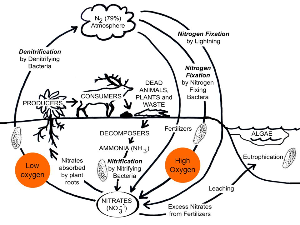 The Nitrogen Cycle Low oxygen High Oxygen