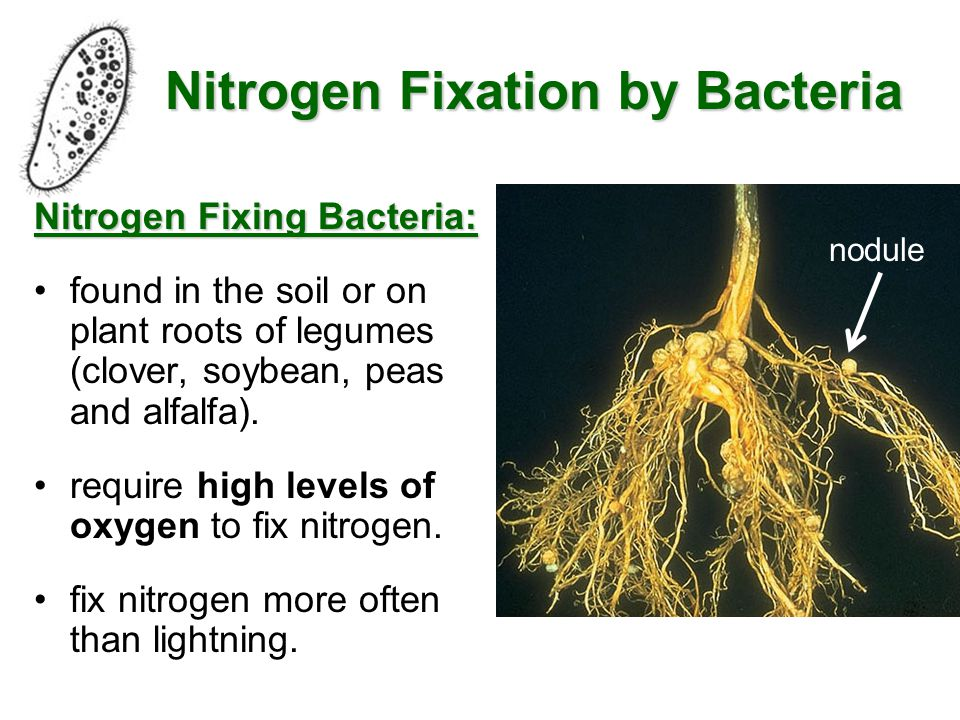 Questions: pg.69 #4,6,8,9 4. Nitrogen fixing bacteria are found in the roots of bean plants.