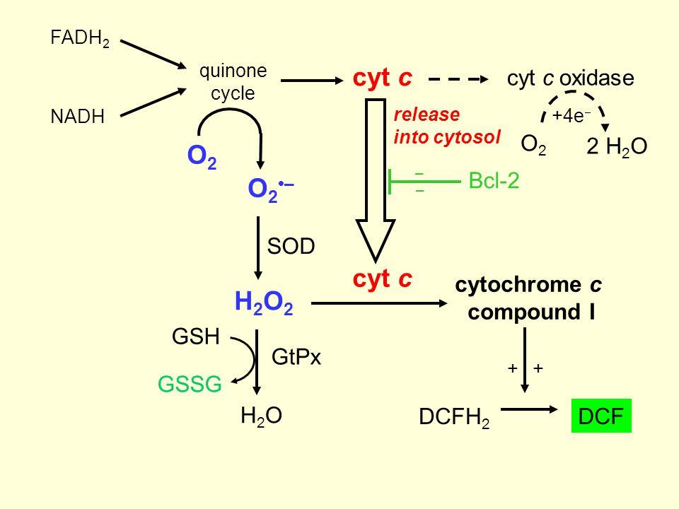 Bcl-2 – – release into cytosol O2O2 O2–O2– H2O2H2O2 SOD cytochrome c compound I DCFH 2 ++ DCF cyt c H2OH2O GSH GSSG GtPx cyt c cyt c oxidase NADH FADH 2 quinone cycle O2O2 2 H 2 O +4e 
