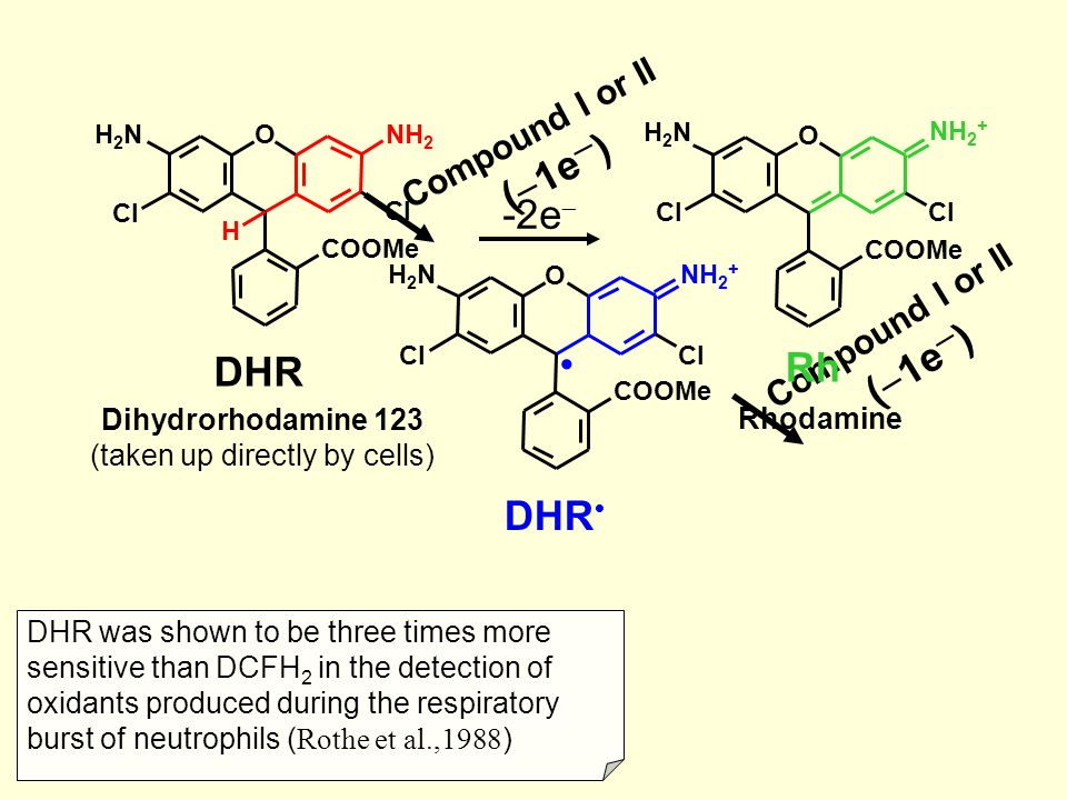 DHR was shown to be three times more sensitive than DCFH 2 in the detection of oxidants produced during the respiratory burst of neutrophils ( Rothe et al.,1988 ) Compound I or II (  1e ─ ) DHR O COOMe Cl H2NH2N NH 2 + Compound I or II (  1e ─ ) DHR NH 2 O Cl H COOMe H2NH2N Dihydrorhodamine 123 (taken up directly by cells) Rhodamine Rh O COOMe Cl H2NH2N NH 2 + -2e 