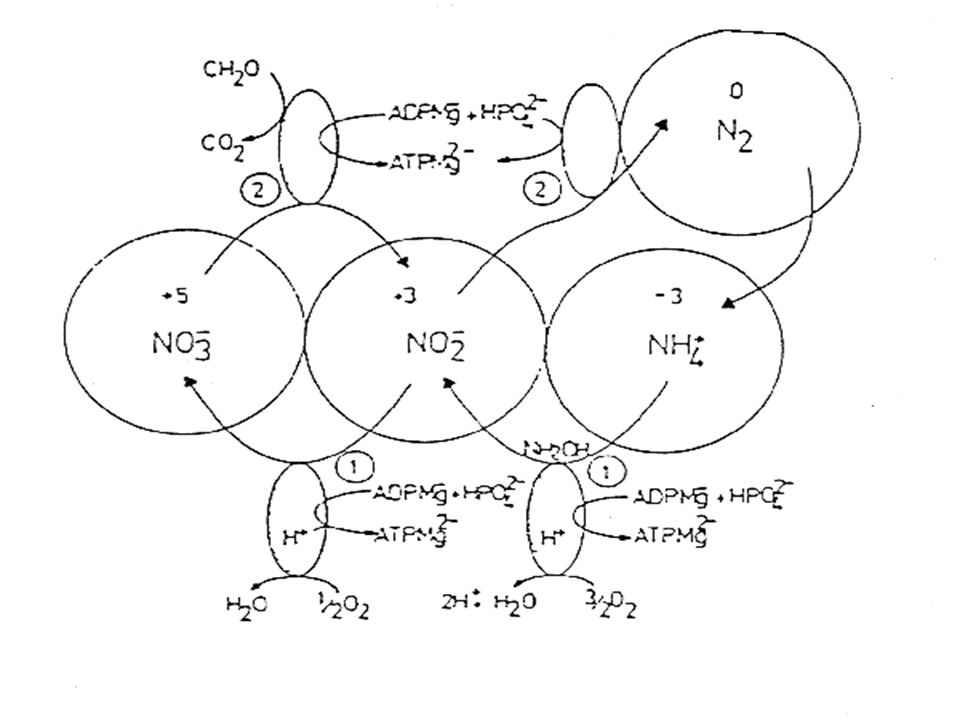 N-cycle, and the Biochemistry of N (cont.) Subsequent reactions may occur: NO 2 - + 2H + + e - = NO + H 2 O NO 2 - + 3H + + 2e - = ½N 2 O + 3/2 H 2 O NO 2 - + 4H + + 3e - = ½N 2 + 2H 2 O NO + 2H + + 2e - = ½N 2 + H 2 O ½N 2 O + H + + e - = ½N 2 + ½H 2 O The overall reaction to N 2 is C 6 H 12 O 6 + 24/5 NO 3 - + 24/5 H + = 6CO 2 + 12/5 N 2 + 42/5 H 2 O The leaky pipe hypothesis suggests that trace gases, N 2 O and NO, are by-products of nitrification and denitrification.
