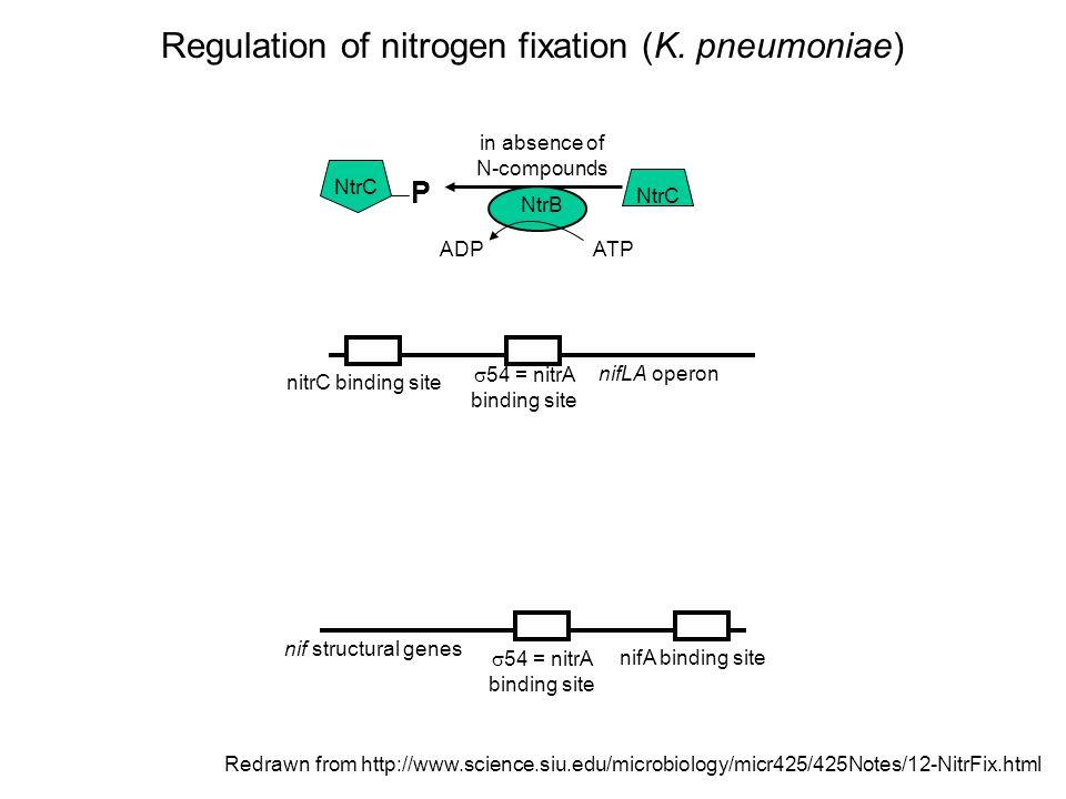 Nitrogen present, no transcription Function of NtrA,  54, the nitrogen  factor