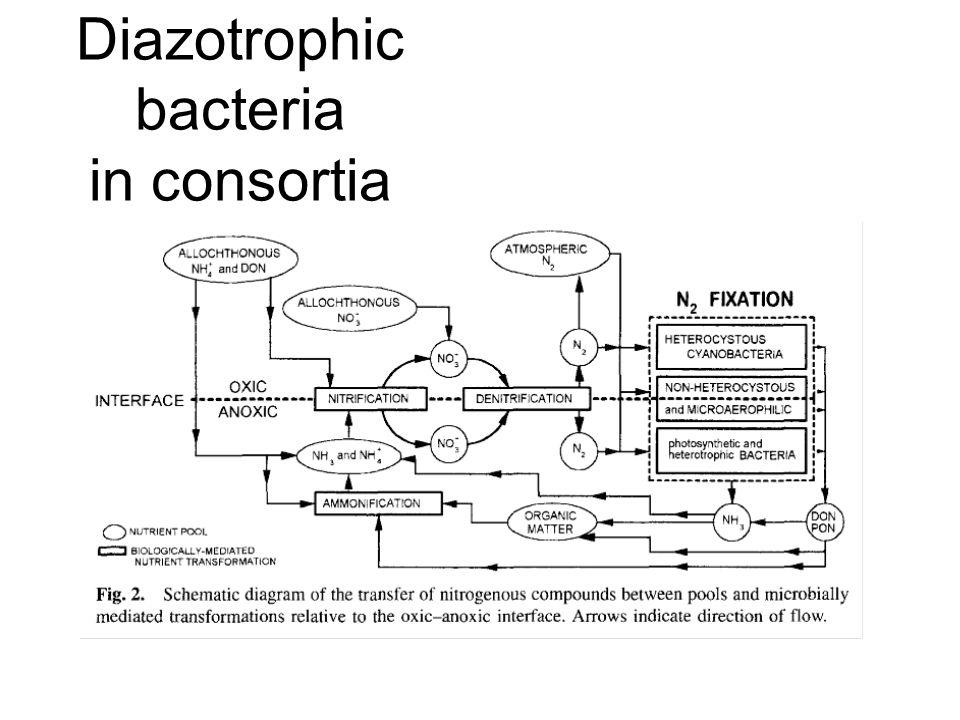 Diazotrophic bacteria in consortia