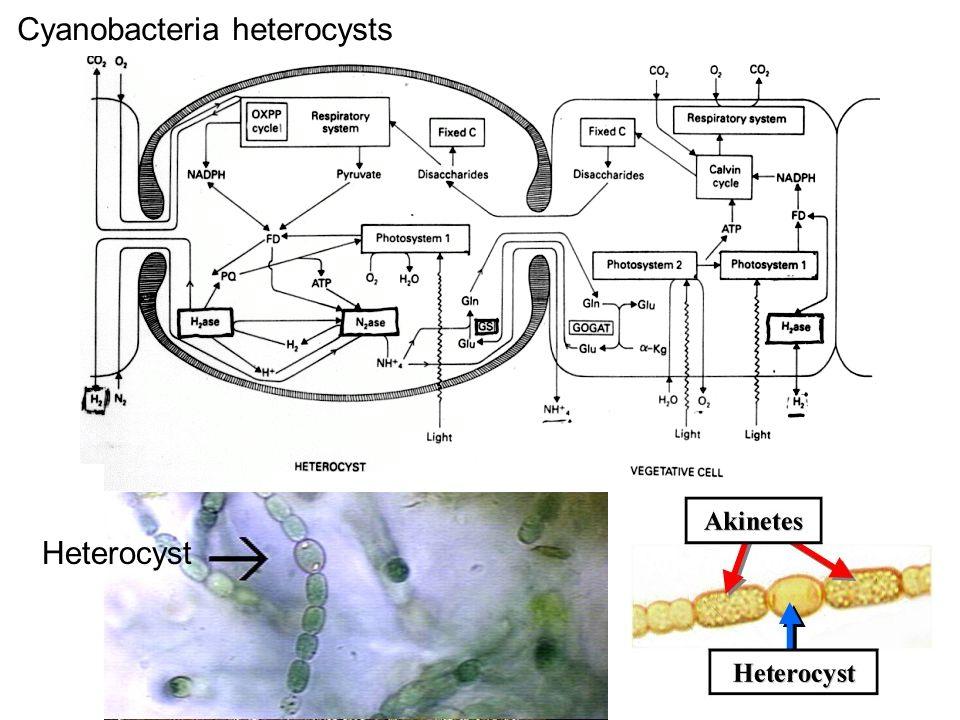 Cyanobacteria heterocysts Heterocyst
