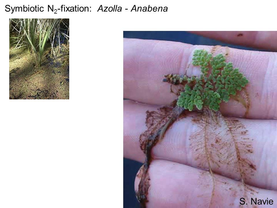 Symbiotic N 2 -fixation: Azolla - Anabena S. Navie