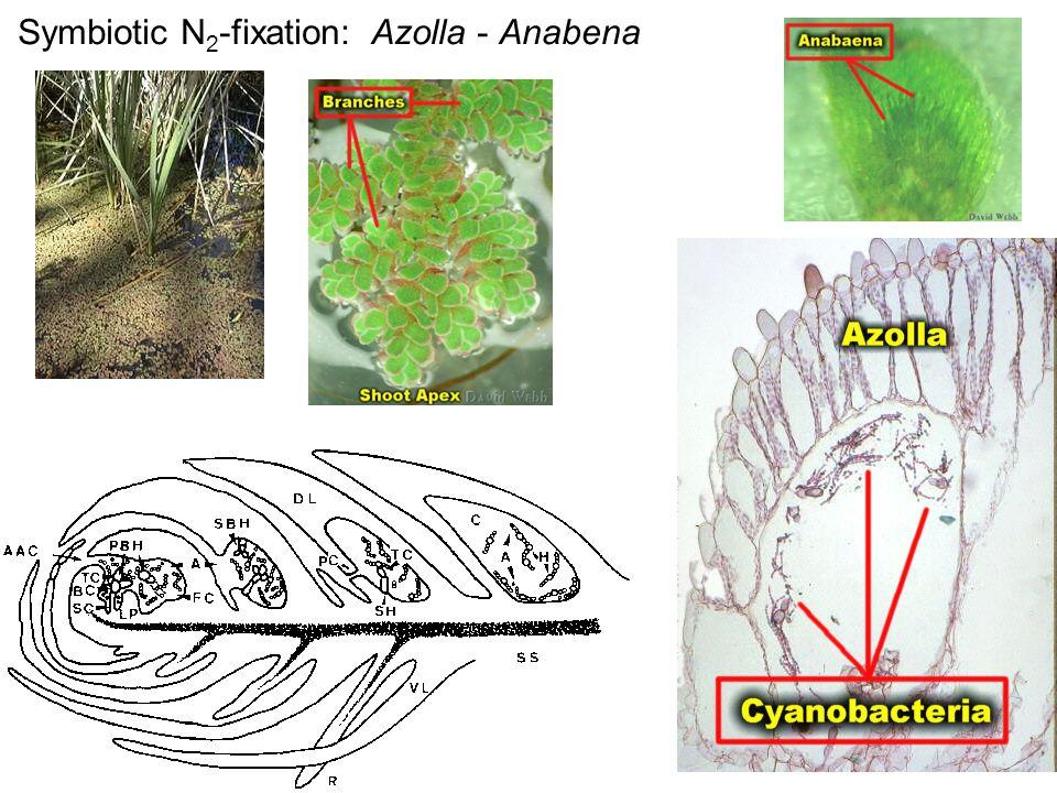 Symbiotic N 2 -fixation: Azolla - Anabena